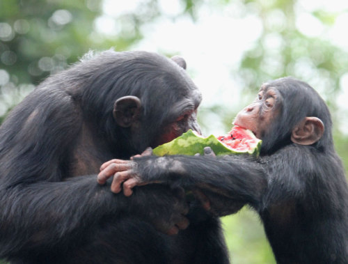 discoverynews:  Chimpanzees are not as selfish as we thought.   eat dat watermelon