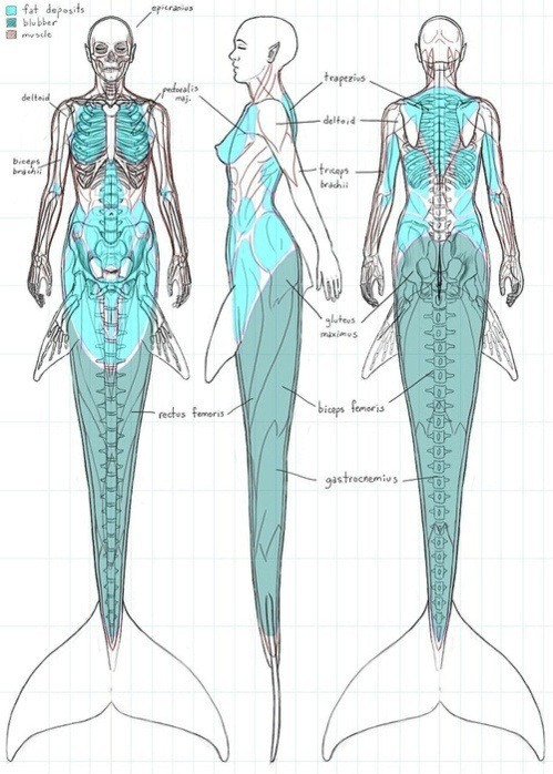 aryll:  mutisija:  villancikos:  The Anatomy of a mermaid  yes, thanks. i hate when people draws mermaid's tail like it was some sort of goddamn suit on normal human legs like this:  it just doesnt work  christmas has come early