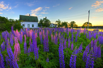 West Tremont Lupine Cottage (by Nate Parker Maine Photography)