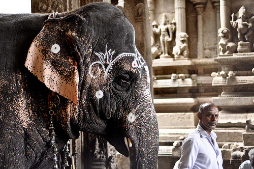 indiaincredible:  Temple Elephant (by Marty Mellway)