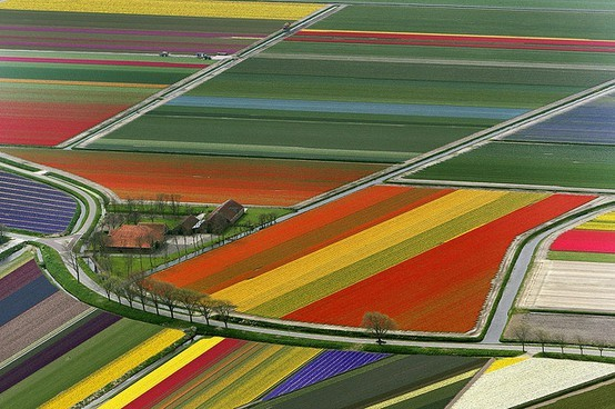 1000scientists:  Tulip fields in Amsterdam