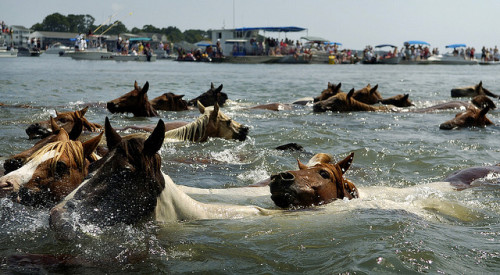 CHINCOTEAGUE_09.JPG by Christopher T. Assaf on Flickr. The Annual Pony Swim as depicted in Misty of Chincoteague.