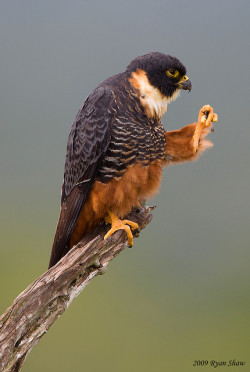 Bat Falcon (Falco rufigularis) by *Ryan Shaw on Flickr.