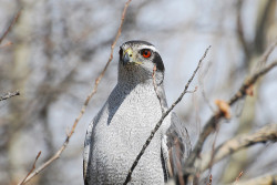 Northern Goshawk DSC_0059 by Ronaldok on Flickr.