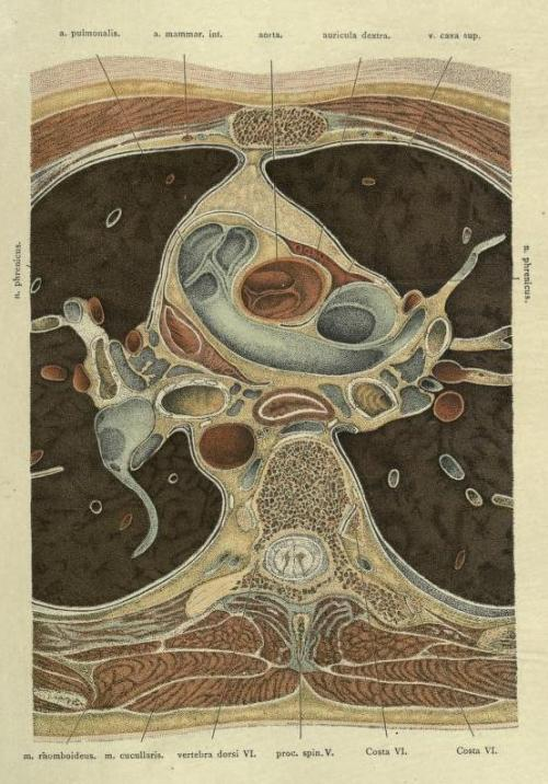 biomedicalephemera:  Top-down view of lungs and surrounding anatomy.