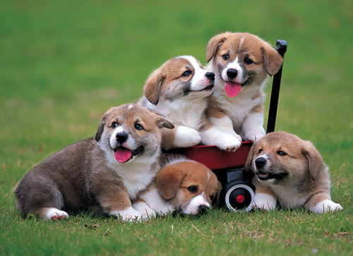 Wagon full of Corgis. That is all.