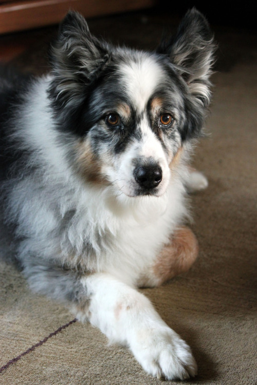 handsomedogs: This is Sneakers, my parents dog. He's an Australian Shepherd, but for some reason his ears never wanted to stay down after about 4 years old, so he looks a bit goofy. He'll be turning 13 years old next month & is beginning to go through some senility problems … we're doing our best to keep him calm and comfortable (which, for the most part, he is), and not too anxious. He can be a bit annoying at times with his anxiety, but he's still so full of life even at 13 years old. betweenthebirds