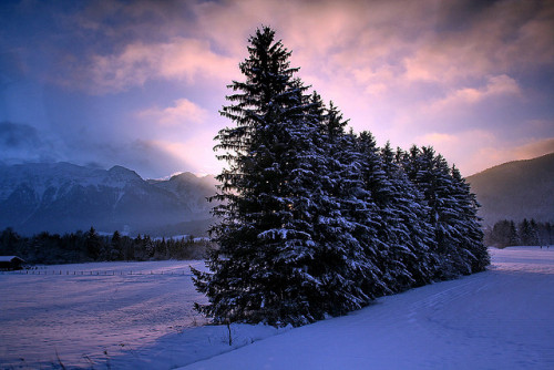Handful of Pine trees by labareda photo on Flickr. | Alpes Austria Hinterglemm Pine Mountains Trees Tree Coniferous Saalbach Montain Pine Tree
