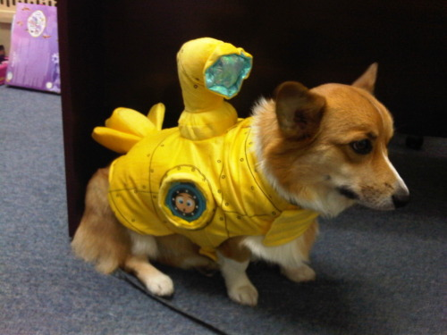 corgiaddict:  Peanut goes diving. =)