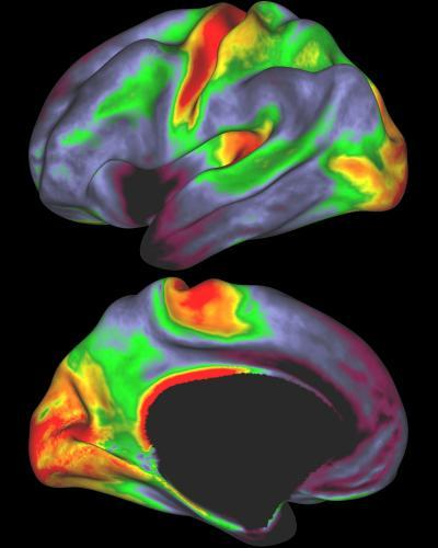 Myelin map of the human brain created by magnetic resonance imaging. David Van Essen/ Washington University School of Medicine. See: Mapping Human Cortical Areas in vivo Based on Myelin Content as Revealed by T1- and T2-weighted MRI