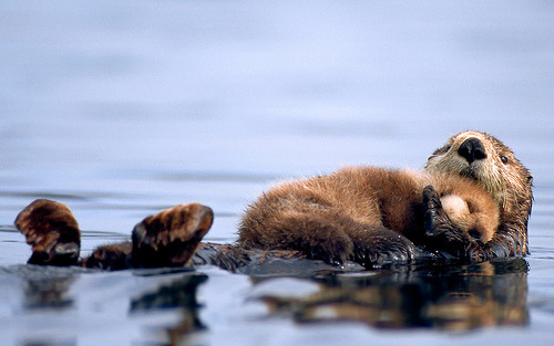 sea-rhinoceros:  Female sea otter floats with a newborn pup resting on her chest in Prince William Sound, Alaska. (by Calgary Mayor Nenshi)