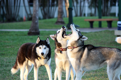 fyhusky:  (by HuskyMum)  They are so gorgeuos