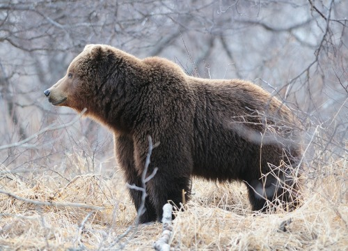 (via wild life,bear. http://englishrussia.com) [Description: A Eurasian brown bear stands in profile, looking into the distance, in dry grass in front of winter trees.]