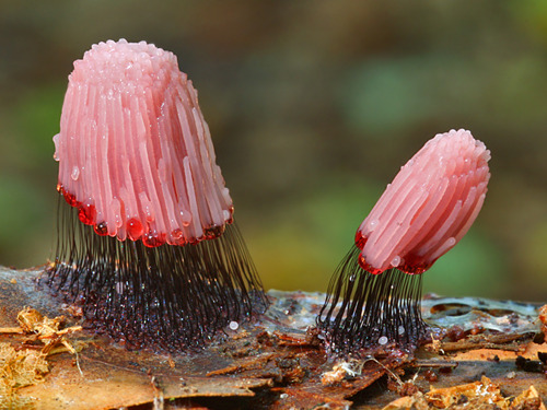 rotting:  Stemonitis fusca is a rather marvelous species of slime mold that carries its jelly-like spore-forming fruiting bodies on curious stilts | photo by Nick Cantle | +