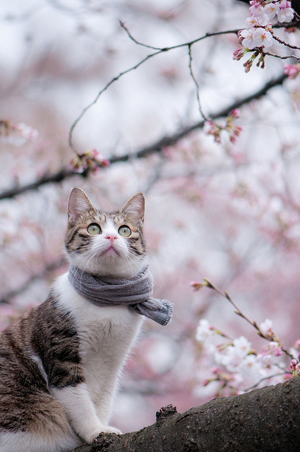 tsotchke:  Look at this cat wearing a scarf enjoying cherry blossoms