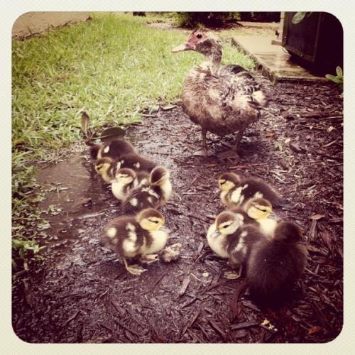 This morning we found a mommy duck with her nine ducklings waddling around our yard while it was sprinkling & gloomy outside. They were so cute, I ran and got my camera as fast as I could so I could capture them. Just simply watching them brought so many smiles to my family. I especially loved how the mommy duck was so cautious around us when we got too close, she would huddle her ducklings behind her then flap her wings at us. So amazing to see how powerful a mommy's love could be, it's just absolutely beautiful! (taken with instagram)