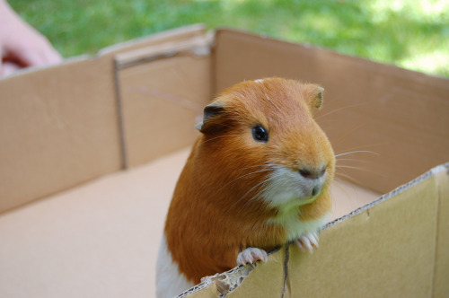 p-riya:  my guinea pig is so much chubbier