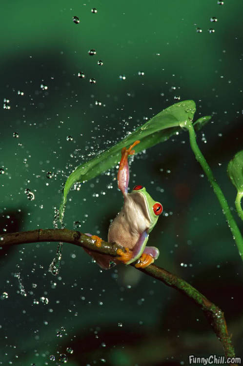 [image description: a tree frog clings to a bending branch with three of its feet. It is raining, large drops of water falling down, and the frog is reaching with its front right leg to hold up a leaf that grows from the branch to stop the rain hitting its head]   I FEEL THIS IS AN APPROPRIATE PICTURE RIGHT NOW BECAUSE I AM EXPERIENCING FLOODING WHERE I LIVE IT'S FUCKING AUGUST WHO PISSED OFF THE WEATHER GODS? CLEARLY THIS FROG IS EQUALLY RAINED UPON, BUT HE'S GOT IT COVERED ROCKIN OUT ON HIS BRANCH WITH THE BEST UMBRELLA NATURE CAN GROW MAN, I NEED TO GET ME A LEAF UMBRELLA.