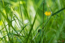 johndunnephotography:  (via A Floral Image | Buttercup in the Grass) A tiny yellow buttercup is nestled within tall blades of dew covered green grass.