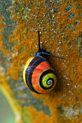 "animalworld:  CUBAN PAINTED SNAILPolymita picta©Adrián González Guillén Polymita picta, common name the ""Cuban land snail"" or the ""painted snail"", is a species of large, air-breathing land snail, a terrestrial pulmonate gastropod mollusk in the family Helminthoglyptidae. The shell of this species is large, brightly colored, and has numerous color varieties. This species is the type species of the genus Polymita. This snail is endemic to Cuba. Source: http://en.wikipedia.org/wiki/Polymita_picta Other Photos by Adrián González Guillén you might like: Another Land Snail Serrated edge Snail Red Cuban Land Snail"