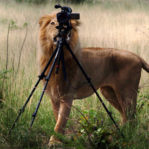 "A lion decides he's had enough of being photographed - and tries to steal a photographer's camera. The lion and his pride had been followed by a film crew in Okavango Delta, Botswana, for days - and obviously decided it was time to have his turn behind the camera. The lion broke away from the pride and ran up to the camera before trying to drag the camera and tripod away. The photo was taken by British photographer and tour guide John Sobey, who runs horseback safaris for photographers throughout Botswana. He said: ""He had a good look down the lens and we watched, amazed. It was only when he decided to try and bite them camera that the film crew got worried, and shouted at the lion, scaring him away."""