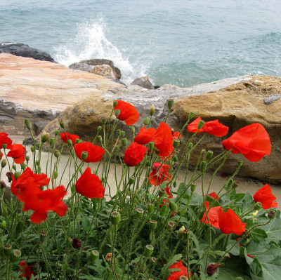ivanfilios:  Poppies on the sea by ludi_ste on Flickr.