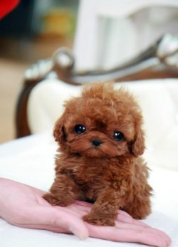 famejunky:  ipearlblunts:  cutest lil dog ever  ^