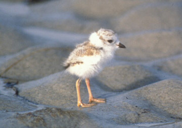Just got back from a trip to Fenwick Island, Delaware. Saw piping plovers on the bay beaches (although not adorable chicks like this one). Photo by Bill Byrne, MassWildlife