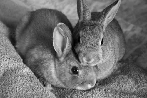 theanimalblog:  taken by lovesofluently  i've always wanted a rabbit but they shit too much.