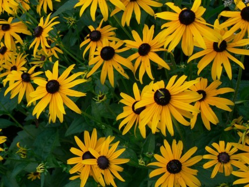 the black-eyed susans out back