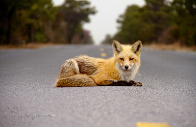 coffeenuts:  | Red Fox @ Island Beach State Park | by Steve O's Photos on Flickr.