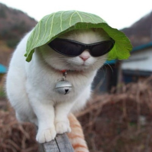 Coleslaw Cat is wearing lettuce hat