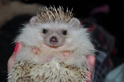 sayhedgehog:  This one of Thaddeus is just too precious not to share tonight.  He's always had those two great big white quills on his head that look like devil horns.  Haha!