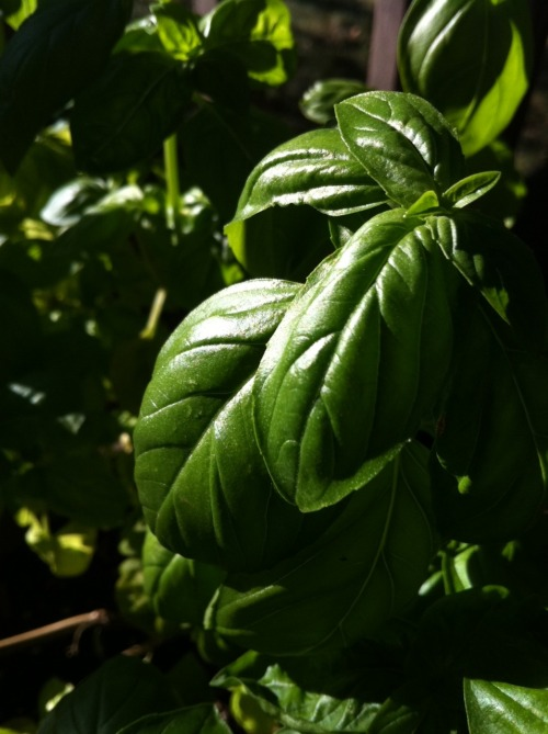 projectoverflow:  backyard basil  Jealous. My basil plants are puny