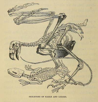 Comparative anatomy of the predator and its prey. The Hand; its Mechanism and Vital Endowments, as Evincing Design. Sir Charles Bell, 1854.