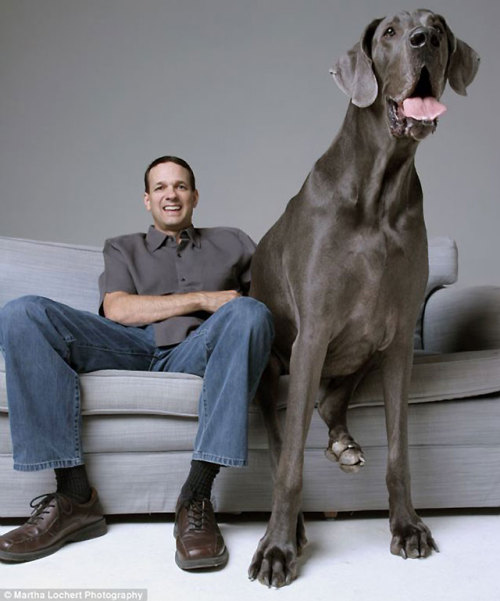 I will always have a special place in my heart for great danes. :) discoverynews:  Meet George, the Great Dane who is the world's largest dog. He's terrified of water and, of course, a gentle, sweet giant.  He's listed the Guinness Book of World Records as the world's tallest living dog  (43 inches from paw to shoulder, that's over 3 feet) as well as the tallest dog ever. Here's a look at George through the years, along with a photoblog of his various trips. He loves NYC!