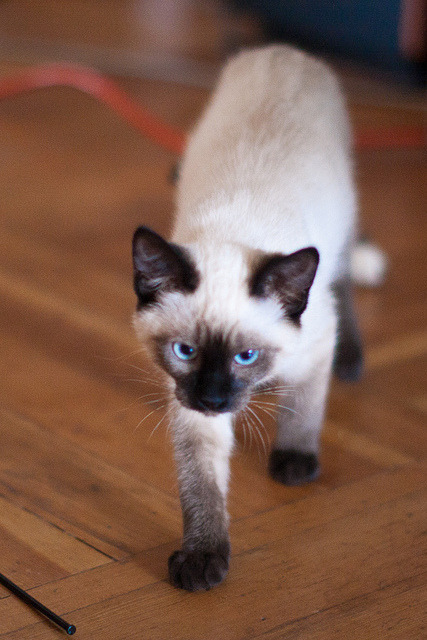 Toulouse by Sam Breach on Flickr.Toulouse trekking across the room.