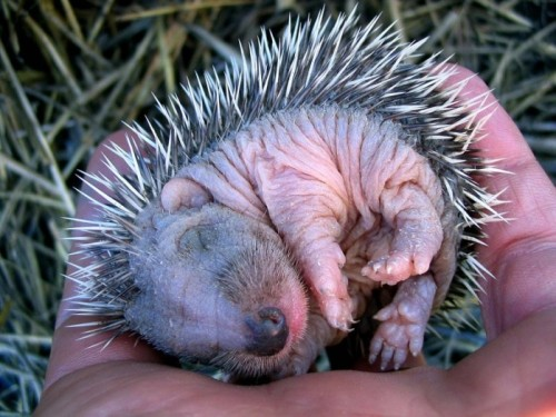 rhamphotheca:  creepicrawlies: Baby Hedgehog!!!  Just a baby hedgehog. #deadfromcute