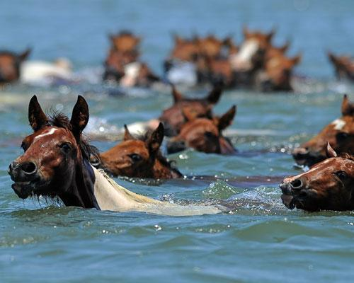 harvestheart:    Chincoteague Pony Swim Wild ponies swim across the Assateague Channel during the annual swim Virginia on July 27. Said to be the descendants of Spanish horses that swam ashore after a shipwreck, the ponies draw large crowds to the area each year. During the Pony Penning, the horses swim across the channel from Assateague Island to Chincoteague Island at slack tide when there's no current and swimming is easiest. The first pony that reaches shore is dubbed King or Queen Neptune and given away to a lucky ticket holder at the next day's auctions.   I want to see this one day :)