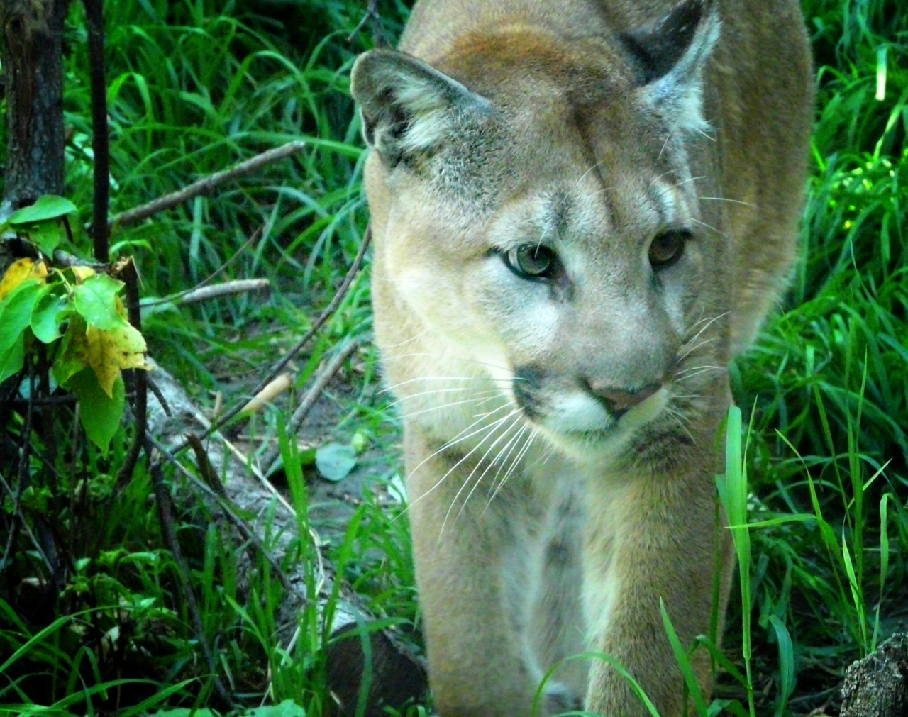 - Mountain Lion - Caturday offering…I prefer my cats to be big cats.