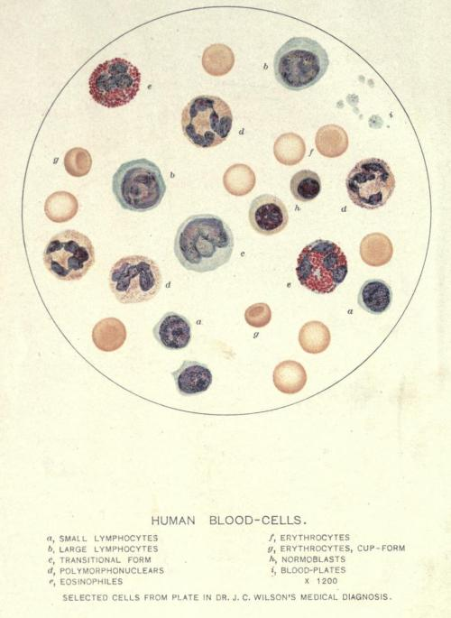 "biomedicalephemera:  Blood cells; Erythrocytes, Leukocytes, and Platelets (thrombocytes). ""Normoblasts"" are the immediate precursor to erythrocytes (red blood cells) - they're essentially an erythrocyte that still maintains a cell nucleus. The ""transitional form"" is a transitional white blood cell. Normal Histology, With Special Reference to the Structure of the Human Body. George A. Piersol, 1910."