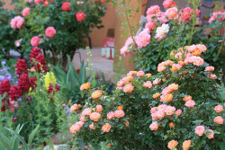 Peach roses and snap dragons in New Mexico, from Joyce on beautyineverything.    It is 8:38 p.m. and I really want to turn down the lights. However, I am at work and visiting hours last until 9 p.m. 22 more minutes of lights. I may die. These are very bright flourescent overhead lights and I have a headache. I think there might be a sudden unexpected power outage at 8:45.