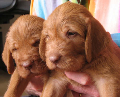 (My own photograph)  just had my lap full of 4 week old Vizsla puppies! aww ♥