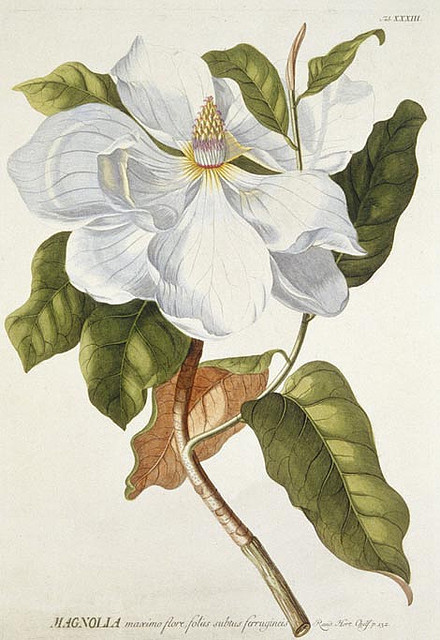 Ehret magnolia by MuseumWales on Flickr.The mid-17th to mid-18th centuries saw the Golden Age of scientific illustration. In this age of curiosity, exploration, and experiment, the artist complimented the scientific process. Georg Dionysius Ehret (1708-1770) was one of the most talented artists of this era. This image shows a Magnolia from Ehret's Plantae Selectae of 1772. Magnolias were a favourite of Ehret and he was said to have taken a daily walk to watch the progress of Magnolia grandiflora. Hand-coloured engraving:50cm x 35cm Further information can be seen on Rhagor, the collections based website from Amgueddfa Cymru - National Museum Wales. Rhwng canol yr ail ganrif ar bymtheg a chanol y deunawfed ganrif gwelwyd Oes Aur darluniau gwyddonol. Yn yr oes hon o gywreinrwydd, archwilio ac arbrofi, roedd yr artist yn ategu'r broses wyddonol. Georg Dionysius Ehret (1708-1770) oedd un o artistiaid mwyaf talentog y cyfnod hwn. Mae'r ddelwedd hon yn dangos Magnolia o Plantae Selectae Ehret ym 1772. Roedd Magnolias yn ffefryn i Ehret a dywedwyd ei fod yn mynd am dro yn ddyddiol i weld cynnydd y Magnolia grandiflora.