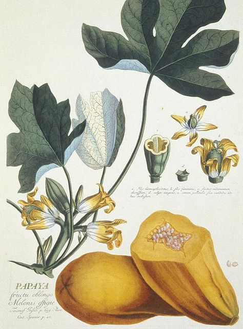 papaya illustration by MuseumWales on Flickr.papaya illustration Carica papaya Papaya, from Plantae Selectae 1772 by Georg Dionysius Ehret (1708-1770). Hand-coloured engraving: 50cm x 35cm. Many of the exotic fruits such as the Paw-paw and Pineapple were discovered on the great voyages of discovery during the 18th and 19th centuries and quickly became fashionable in Europe. The Paw-paw is a native of tropical America. Further information can be seen on Rhagor, the collections based website from Amgueddfa Cymru - National Museum Wales. Papaya Carica papaya, o Plantae Selectae 1772 gan Georg Dionysius Ehret (1708-1770). Darganfuwyd nifer o'r ffrwythau egsotig megis y Paw-paw a'r Binafal ar deithiau darganfod yn ystod y ddeunawfed a'r bedwaredd ganrif ar bymtheg, a daethant yn ffasiynol yn gyflym yn Ewrop. Mae'r Paw-paw yn hanu o America drofannol.