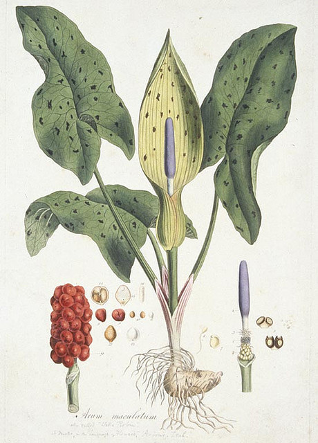 lords and ladies by MuseumWales on Flickr.Arum maculatum (Lords and Ladies) from Flora Londinensis (1777-1787) published by William Curtis. Hand-coloured engraving: 46cm x 31.5cm. Flora Londinensis included all wild flowers growing within a ten mile radius of London, which was then surrounded by fields and undrained marshland. The hand-coloured illustrations are exceptionally delicate and precise so it is surprising that it failed to attract many subscribers. After ten years, Curtis had to admit financial defeat and in 1787, he produced the smaller Botanical Magazine, which is still in production today, over 200 years later. Further information can be seen on Rhagor, the collections based website from Amgueddfa Cymru - National Museum Wales. Arum maculatum (Pidyn y Gog) o Flora Londinensis (1777-1787) a gyhoeddwyd gan William Curtis. Roedd Flora Londinensis yn cynnwys yr holl flodau gwyllt a dyfai o fewn deng milltir i Lundain, a oedd bryd hynny wedi'i amgylchynu gan gaeau a thir corsiog heb ei ddraenio. Mae'r darluniau a liwiwyd gyda llaw yn arbennig o gain a manwl, felly mae'n syndod na lwyddodd i ddenu nifer o danysgrifwyr. Ar ôl deng mlynedd, roedd yn rhaid i Curtis dderbyn methiant ariannol ac ym 1787, cynhyrchodd y Botanical Magazine llai, sydd yn parhau i gael ei gyhoeddi heddiw, dros 200 mlynedd yn ddiweddarach.