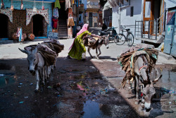 INDIA. Jodhpur. Woman with mules. ⓒ Julie Mayfeng