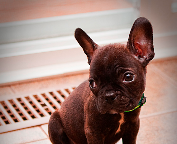 Don't know about the Boston-Frenchie mix, but this one is 100% adorable french bulldog pup.  emiliecollier:  I really want a Boston Terrier French Bulldog mix. How cute is he?!