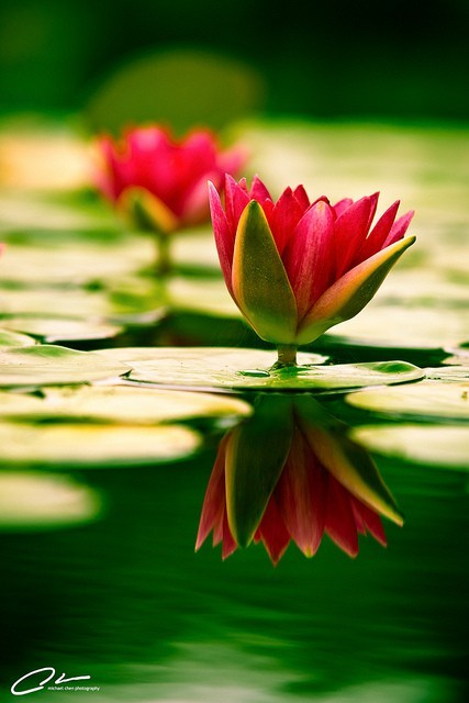 Flower photography : Red Water lily reflection