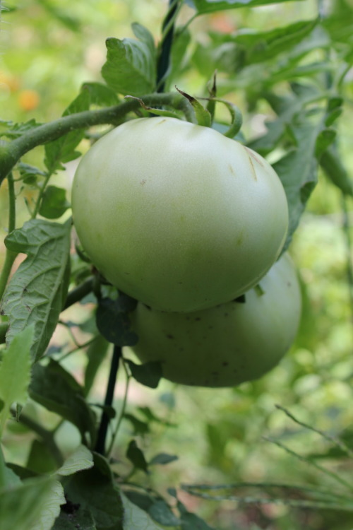 Our nice green tomatoes, hopefully they'll turn red soon!